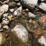 本流の放流岩魚